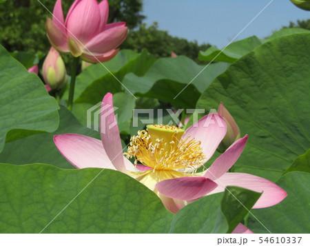千葉公園のオオガハスの桃色の花 54610337