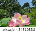千葉公園のオオガハスの桃色の花 54610338