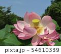 千葉公園のオオガハスの桃色の花 54610339
