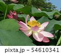 千葉公園のオオガハスの桃色の花 54610341