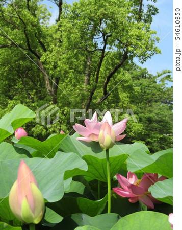 千葉公園のオオガハスの桃色の花 54610350