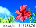 沖縄の青空に咲くハイビスカス 54615876