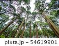 奈良県 吉野の山中 ヒノキ林を見上げる 54619901