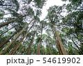 奈良県 吉野の山中 ヒノキ林を見上げる 54619902