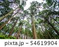 奈良県 吉野の山中 ヒノキ林を見上げる 54619904