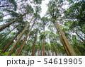 奈良県 吉野の山中 ヒノキ林を見上げる 54619905
