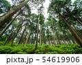 奈良県 吉野の山中 ヒノキ林を見上げる 54619906