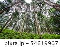 奈良県 吉野の山中 ヒノキ林を見上げる 54619907