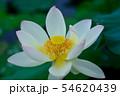 白い蓮の花 54620439
