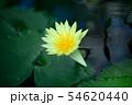 黄色い睡蓮 54620440