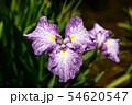 菖蒲の花 54620547