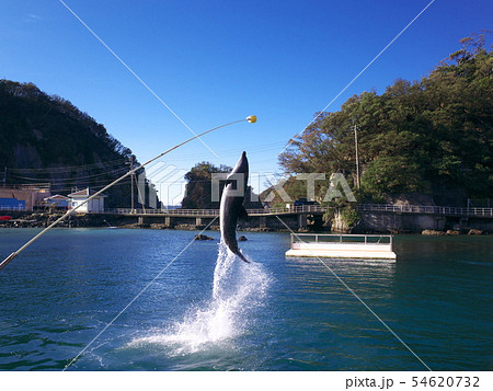 下田海中水族館 イルカショー 54620732