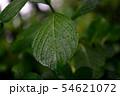 濡れた葉っぱ 54621072