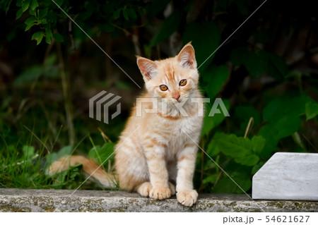 野良の子猫 54621627