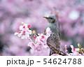 【ヒヨドリ】・さくら・春 54624788
