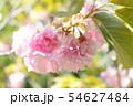 秩父の桜 54627484