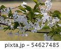 名護屋城の桜 54627485
