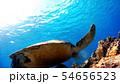 沖縄 渡嘉敷島アオウミガメの水中撮影 54656523