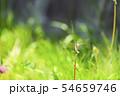 ムギワラトンボ 54659746