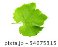 Fresh green leaf of grape isolated on white 54675315