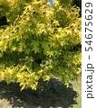 葉っぱ 54675629