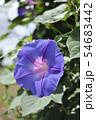 朝顔の花  54683442