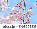 春の風景 満開の桜 54690356