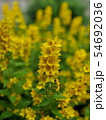 flowers yellow loosestrife 54692036
