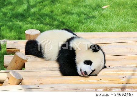 和歌山県 パンダの赤ちゃん 54692467