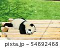和歌山県 パンダの赤ちゃん 54692468
