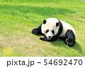和歌山県 パンダの赤ちゃん 54692470