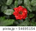 雨に濡れる薔薇 54695154