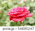 雨に濡れる薔薇 54695247