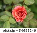 雨に濡れる薔薇 54695249