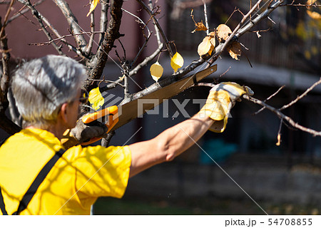 Man pruning tree cutting old branches with a saw 54708855