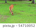 奈良公園の鹿 54710052