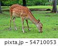 奈良公園の鹿 54710053