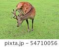 奈良公園の鹿 54710056