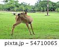 奈良公園の鹿 54710065