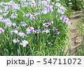 ハナショウブの花 54711072