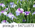 ハナショウブの花 54711073