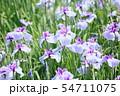 ハナショウブの花 54711075
