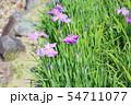 ハナショウブの花 54711077