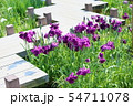 ハナショウブの花 54711078