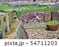 マツバギクの花 54711203