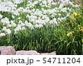 ハナショウブの花 54711204