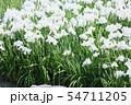 ハナショウブの花 54711205