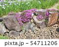 マツバギクの花 54711206