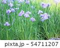 ハナショウブの花 54711207