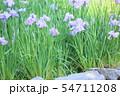 ハナショウブの花 54711208